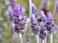 220px-Single_lavendar_flower02