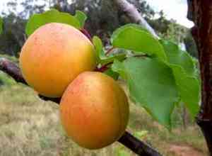 apricot_orchard